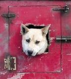 Pousser principal du ` s de chien de traîneau par la trappe d'un véhicule de transport photo stock