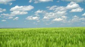 Pousses blondes comme les bl?s vertes dans le domaine et le ciel nuageux Paysage lumineux de ressort banque de vidéos