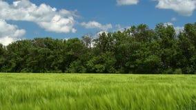 Pousses blondes comme les bl?s vertes dans le domaine et le ciel nuageux Paysage lumineux de ressort clips vidéos