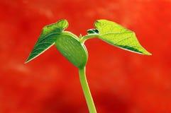 Pousses d'haricot frais Image libre de droits