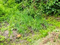 Pousses d'oignon vert photo libre de droits