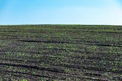 Pousses dans les rangées sur le champ en été image libre de droits
