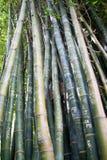 Pousses de bambou Photographie stock