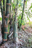 Pousses de bambou pendant dans la saison de pluie image stock