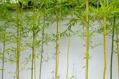 Pousses de bambou s'élevant contre le mur extérieur d'un thé japonais Photos libres de droits