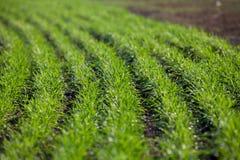 Pousses de blé d'hiver dans les rangées Images stock