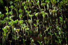 Pousses de brocoli Photo libre de droits