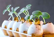 Pousses de concombre dans une coquille d'oeuf Photos stock