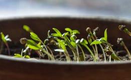 Pousses de coriandre dans un pot photographie stock libre de droits