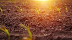 Pousses de jeune maïs dans les rayons du coucher de soleil Belles jeunes pousses Images stock