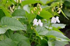 Pousses de jeunes et fleurs de haricot dans le domaine Images stock