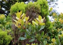 Pousses de jeunes sur le buisson de laurier L'île de San Miguel Images stock