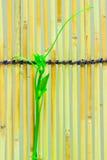 Pousses de lierre sur les abat-jour en bambou japonais Photos stock