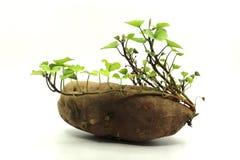 Pousses de patate douce et feuilles de jeunes Images libres de droits