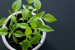 Pousses de poivre vietnamien chaud dans un pot pourpre sur un fond noir Vue sup?rieure image stock