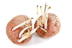 Pousses de pomme de terre Photographie stock libre de droits