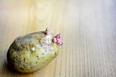 Pousses de pomme de terre photo stock