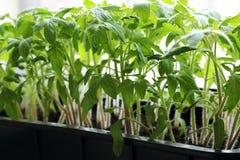 Pousses de ressort Jeunes développés en serre chaude dans des jeunes plantes d'une boîte de images libres de droits