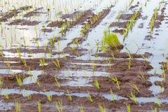 Pousses de riz photographie stock libre de droits