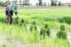 Pousses de riz de récolte d'agriculteur Photo libre de droits