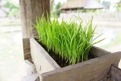 Pousses de riz s'élevant sur la boîte de bois de construction Images stock