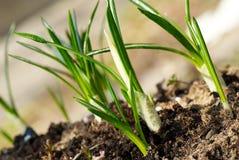 Pousses de safran en première source Image stock