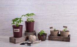 Pousses de tomate, d'aubergine et de piments dans des tasses et des outils de jardin dessus Images libres de droits