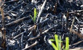 Pousses de vert après un feu photos libres de droits