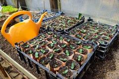 Pousses des concombres Feuilles dicotylédones Concombres de jeunes plantes Photographie stock