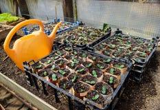 Pousses des concombres Feuilles dicotylédones Concombres de jeunes plantes Image libre de droits