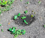 Pousses des courgettes dans le jardin photo libre de droits