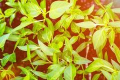 Pousses des pousses de paprikas image libre de droits