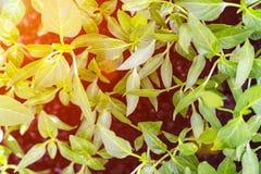 Pousses des pousses de paprikas photo libre de droits