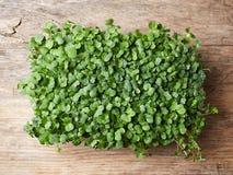 Pousses fraîches d'arugula Image stock