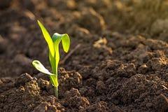 Pousses grandissantes de jeune plante de maïs dans le domaine agricole de ferme image libre de droits