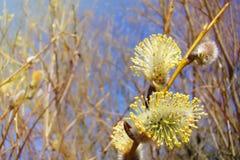Pousses lumineuses pelucheuses de saule avec le pollen jaune sur un fond de ciel bleu photographie stock