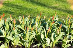 Pousses rouges de floraison des tulipes Photos stock