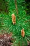 Pousses sur des branches de pin Photo libre de droits