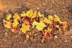 Pousses très jeunes de rhubarbe Image stock