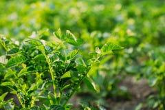 Pousses vernales vertes étroites de plante de pomme de terre, élevage de solanum tuberosum Photographie stock libre de droits