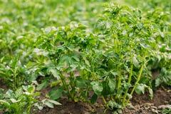 Pousses vernales vertes étroites de plante de pomme de terre, solanum tuberosum GR photographie stock