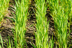 Pousses vertes de blé dans le domaine Photos libres de droits