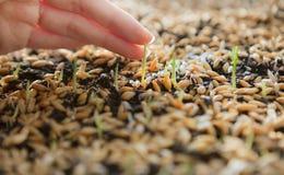 Pousses vertes de blé, un régime alimentaire cru, s'élevant Image stock