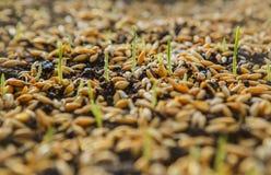 Pousses vertes de blé, un régime alimentaire cru, s'élevant Photos stock