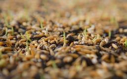 Pousses vertes de blé, un régime alimentaire cru, s'élevant Photographie stock