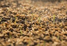 Pousses vertes de blé, un régime alimentaire cru, s'élevant Photo stock