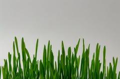 Pousses vertes de bl?, r?gime de forme physique, alimentation saine, naturelle, fin  photos stock