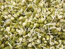 Pousses vertes de fèves de mung Photos stock