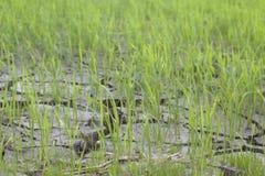 Pousses vertes de riz Photos stock