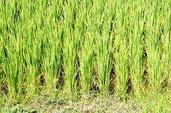 Pousses vertes de riz sur une plantation au Vietnam du Sud image stock